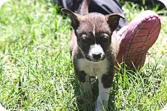 Labrador Retriever Mix Puppy for adoption in Sturbridge, Massachusetts - Bambino