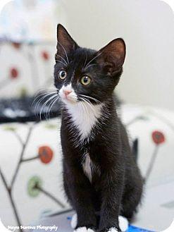 Domestic Shorthair Kitten for adoption in Nashville, Tennessee - Pepe