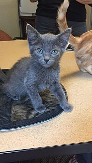 Russian Blue Kitten for adoption in Sacramento, California - Dusky