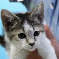 Adopt A Pet :: Alicia - Robinson, IL
