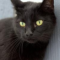 Domestic Shorthair Cat for adoption in Atascadero, California - Flower