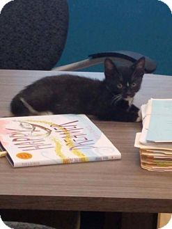 Domestic Shorthair Kitten for adoption in Hazlet, New Jersey - YANG