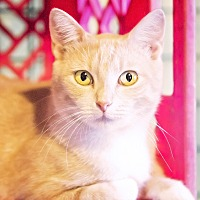 Adopt A Pet :: Trishelle - St. Louis, MO