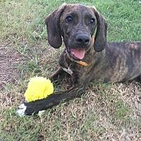 Adopt A Pet :: Hatton - Bedminster, NJ