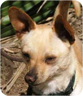Chihuahua Mix Dog for adoption in San Diego, California - Jerry