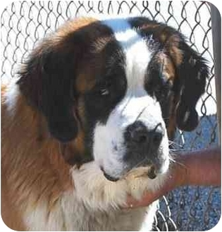 St. Bernard Dog for adoption in Fulton, Missouri - Beethoven