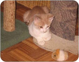 Domestic Shorthair Kitten for adoption in Colmar, Pennsylvania - Merlin