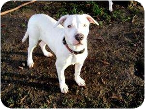 Dogo Argentino Mix Puppy for adoption in North Hollywood, California - Zoey