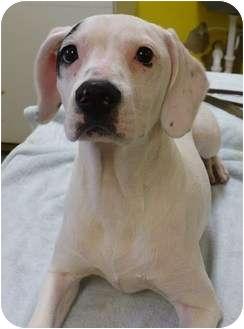 Spaniel (Unknown Type) Mix Puppy for adoption in Eastpoint, Florida - Audrey