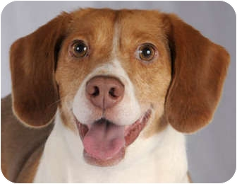 Beagle Dog for adoption in Chicago, Illinois - Parker
