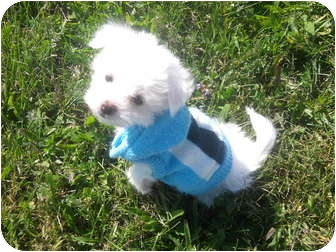 Chinese Crested Puppy for adoption in Wauseon, Ohio - Chinese Crested Puppies