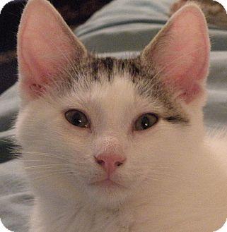Domestic Shorthair Kitten for adoption in Medford, Massachusetts - Circle