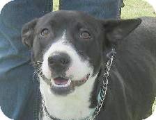 Border Collie Mix Dog for adoption in Preston, Connecticut - Willa