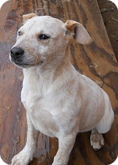 Australian Cattle Dog Mix Puppy for adoption in dewey, Arizona - Rosie