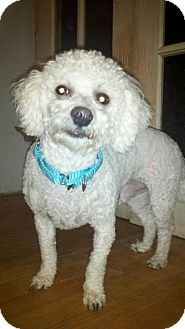 Bichon Frise/Poodle (Toy or Tea Cup) Mix Dog for adoption in North Olmsted, Ohio - Kipper