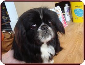 Pekingese Mix Dog for adoption in Germantown, Ohio - Pooh Bear