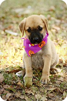 German Shepherd Dog/Boxer Mix Puppy for adoption in Cranford, New Jersey - Leia