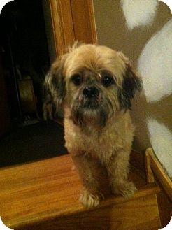 Shih Tzu Mix Dog for adoption in Chicago, Illinois - Merlin