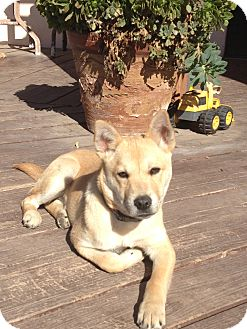 Shiba Inu Mix Puppy for adoption in Santa Monica, California - KARLI