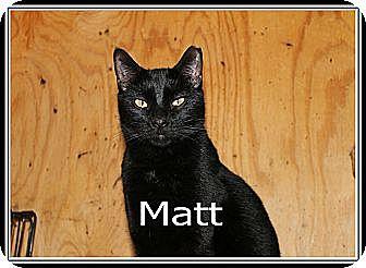 Domestic Shorthair Cat for adoption in Wichita Falls, Texas - Matt