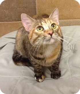 Domestic Shorthair Cat for adoption in Scottsdale, Arizona - Baby Girl