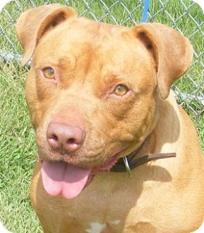 Staffordshire Bull Terrier Mix Dog for adoption in Olive Branch, Mississippi - Maude