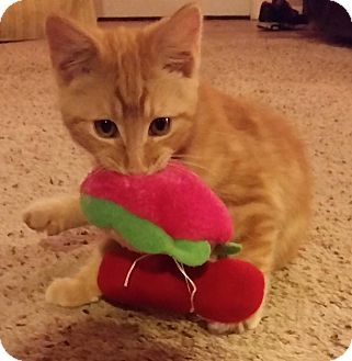 Domestic Shorthair Kitten for adoption in Tillamook, Oregon - Pumpkin Marmalade