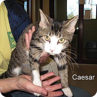 Domestic Shorthair Kitten for adoption in Slidell, Louisiana - Caesar