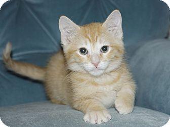 Domestic Shorthair Kitten for adoption in Berlin, Connecticut - Little Man