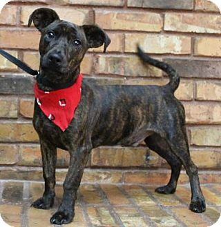 Terrier (Unknown Type, Medium) Mix Dog for adoption in Benbrook, Texas - Rumble