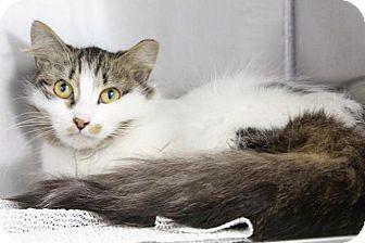 Domestic Longhair Cat for adoption in Medfield, Massachusetts - Cassidy