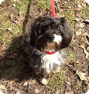 Lhasa Apso/Shih Tzu Mix Dog for adoption in Indianapolis, Indiana - Anastasia