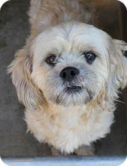 Lhasa Apso Mix Dog for adoption in Philadelphia, Pennsylvania - Tucker