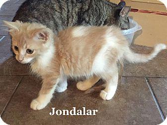 Domestic Shorthair Kitten for adoption in Bentonville, Arkansas - Jondalar