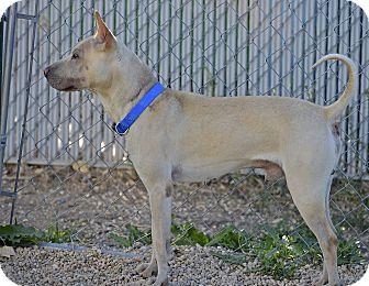 Shar Pei Mix Dog for adoption in Meridian, Idaho - Sonny
