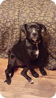 Labrador Retriever Mix Puppy for adoption in Rockford, Illinois - Margo