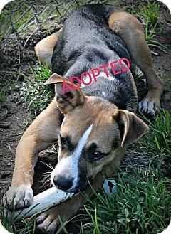 Boxer Mix Dog for adoption in Proctorville, Ohio, Ohio - Cassidy