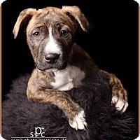 Adopt A Pet :: Bosco - Norman, OK