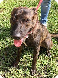 Belgian Malinois Mix Dog for adoption in Miami, Florida - Crackle