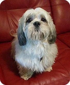 Shih Tzu Dog for adoption in Lawrenceville, Georgia - Joey