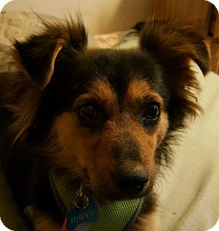 Collie/Terrier (Unknown Type, Small) Mix Dog for adoption in Spring Valley, New York - Happy