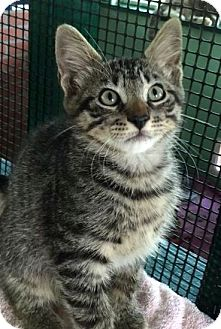 Domestic Shorthair Kitten for adoption in Porter, Texas - Captain