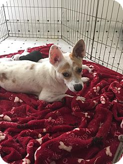 Corgi/Chihuahua Mix Dog for adoption in Saddle Brook, New Jersey - Violet