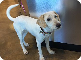 Labrador Retriever/Australian Shepherd Mix Puppy for adoption in Vancouver, British Columbia - Layla