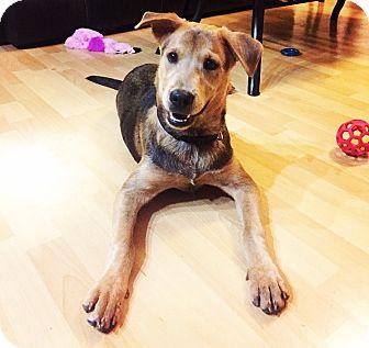German Shepherd Dog Mix Puppy for adoption in Greenfield, Wisconsin - Finn