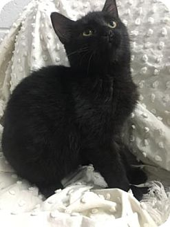 Domestic Shorthair Kitten for adoption in Paducah, Kentucky - Eugene