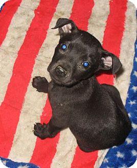Labrador Retriever/Bull Terrier Mix Puppy for adoption in Melrose, Florida - Hudson, La Salle