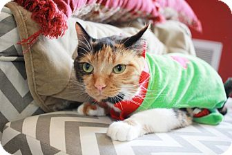 Domestic Shorthair Cat for adoption in Redwood City, California - Mitzi