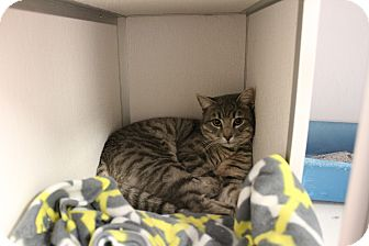 Domestic Shorthair Cat for adoption in Yucca Valley, California - Marco Albert Polo