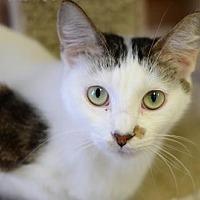 Domestic Shorthair Cat for adoption in Atlanta, Georgia - Snowball 2017170035